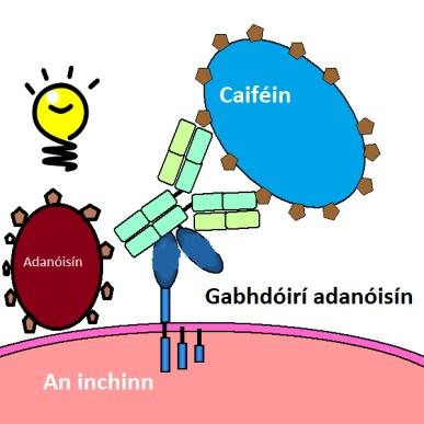 adenosine_receptor_schematic_big1